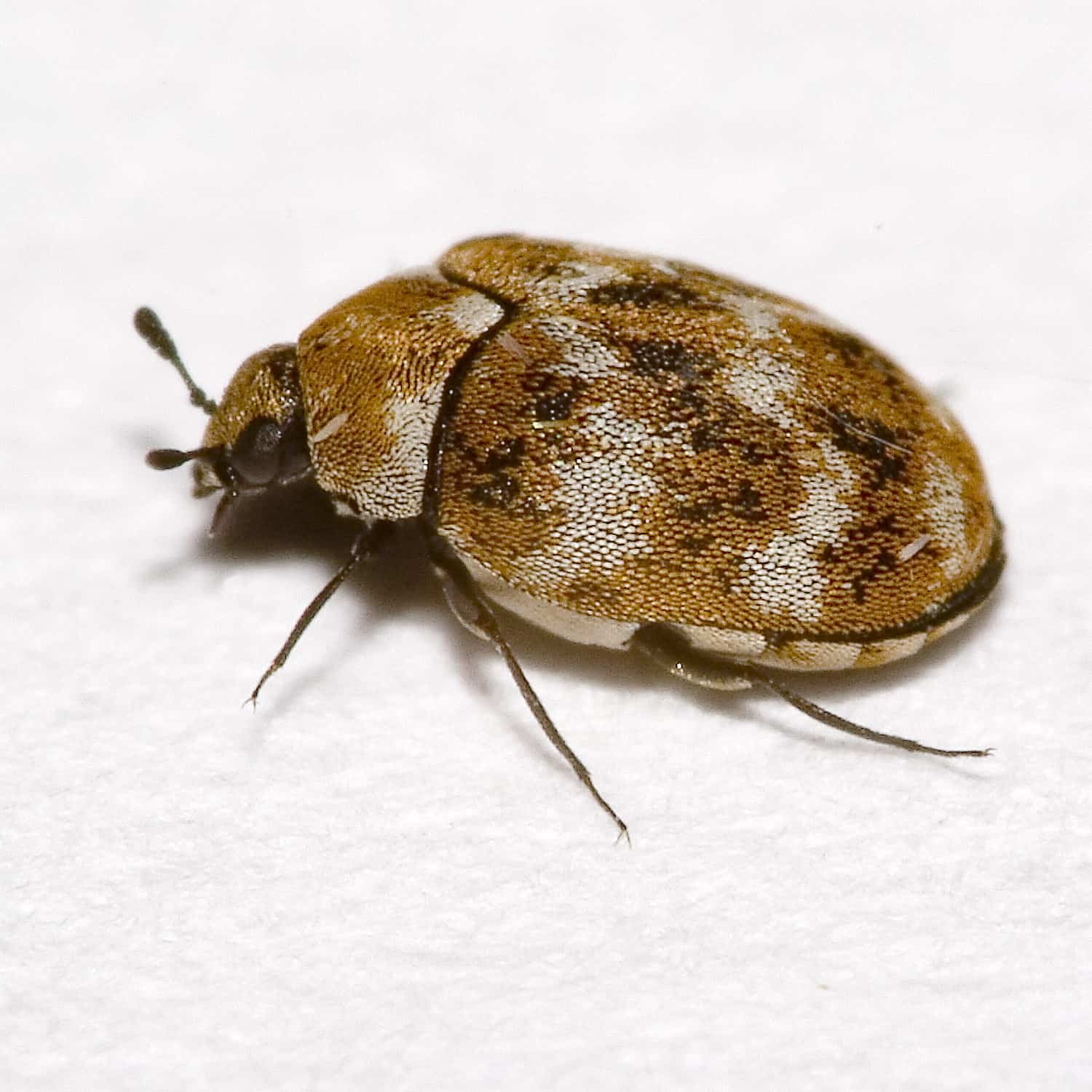 Carpet Beetle How To Get Rid Of Carpet Beetles Timberwise