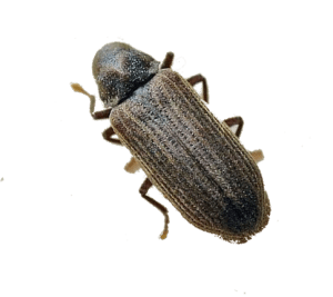 Woodworm Beetle