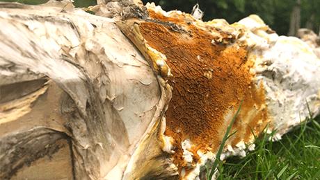 Dry Rot Sporophore