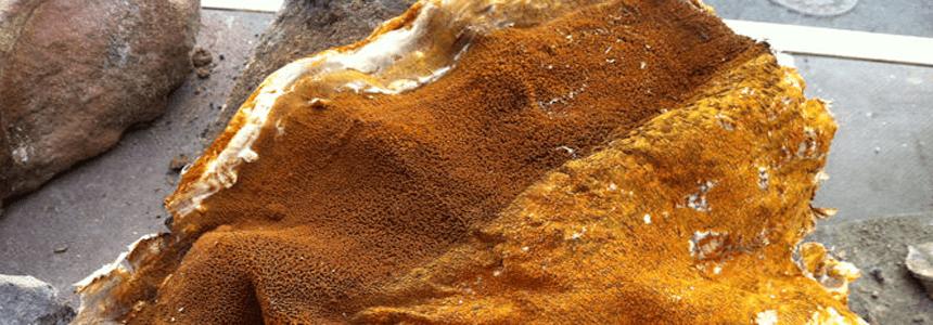 Dry rot fruiting body