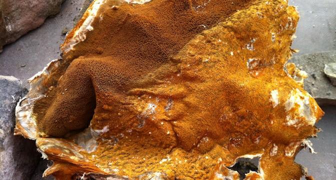 Surveyors Fotofile Dry Rot Fruiting Body Timberwise