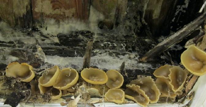 Plaster Fungi - Peziza spp