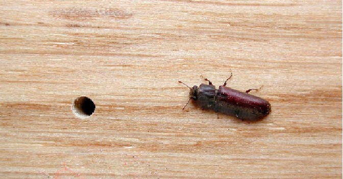 Powder Post beetle and emergence hole