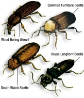 Types of woodworm