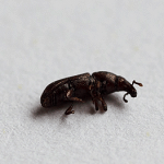 Woodboring Weevil