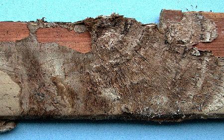 Dry rot mycelium