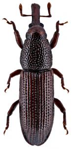 Wood-boring Weevils